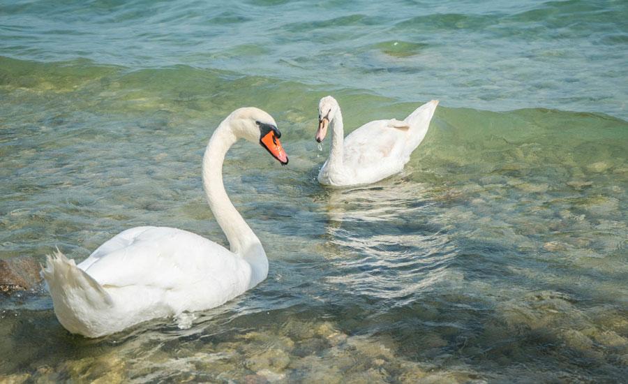 sacav-swans-garda-lake