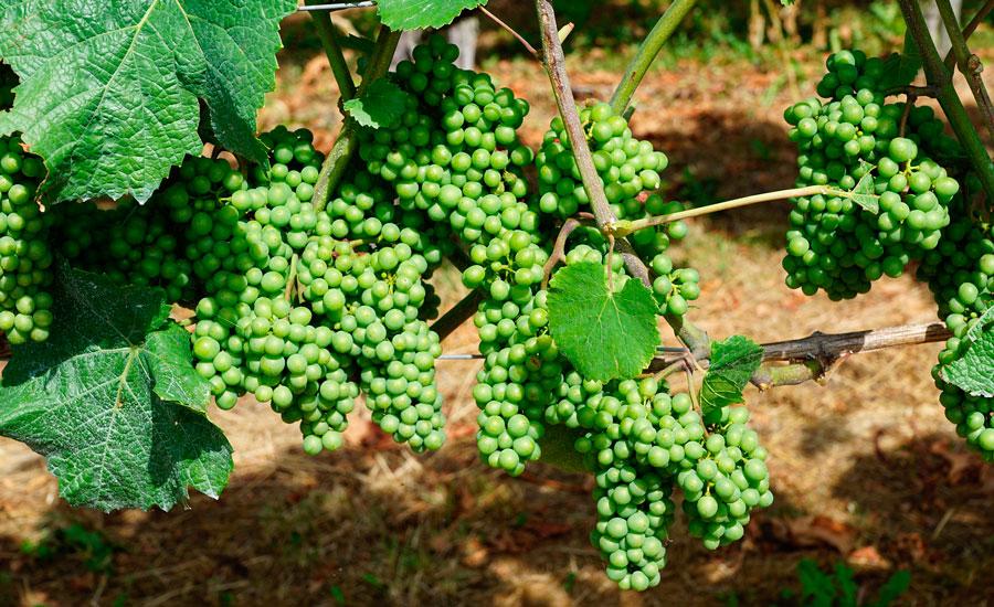 sacav-valpolicella-vineyard
